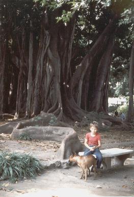 Palermo - Ficus di Piazza Marina -  - Dall'archivio di Sicilia nel Mondo