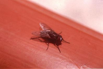 La musca (La mosca)